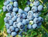 Blueberry Wine Additives Kit